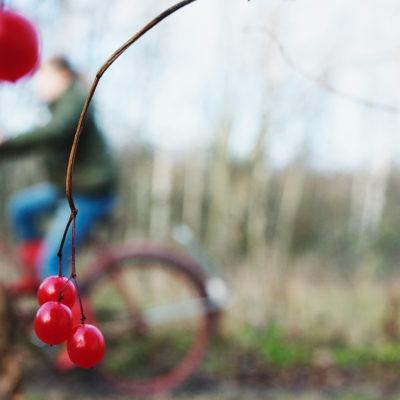 närbild på rönnbär mot bakgrund av en höstlig bild oskarpt läge, med gult gräs och en cyklist som cyklar förbi åt vänster.