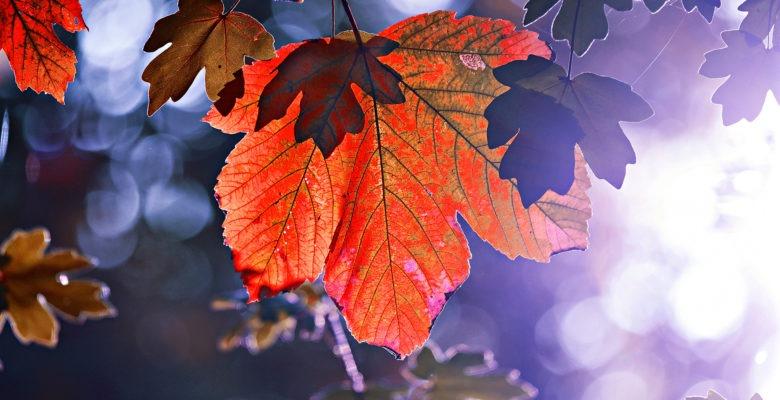 ett rött löv i motljus med mycket blått i luften runtomkring